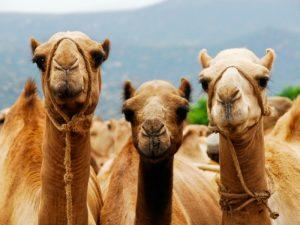 Camellos de los Reyes Magos