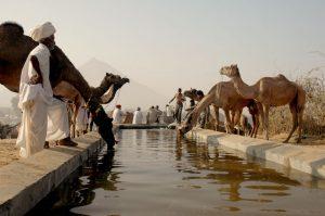 Camellos bebiendo agua